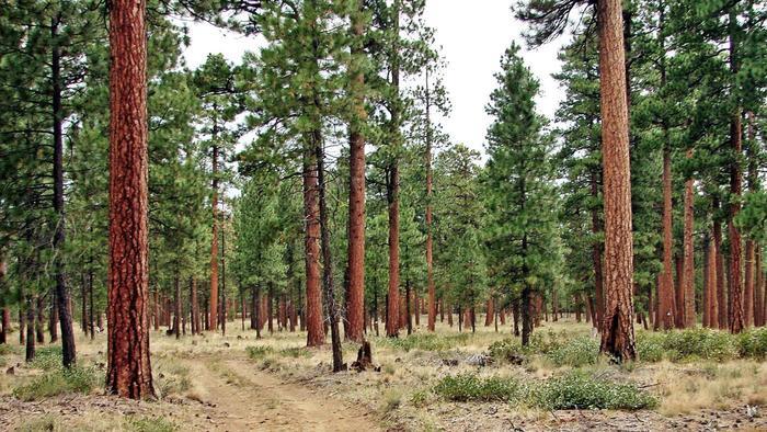 Một cây thông Noel có bóng mát bằng sân bóng đá tạo ra một hệ sinh thái riêng biệt.