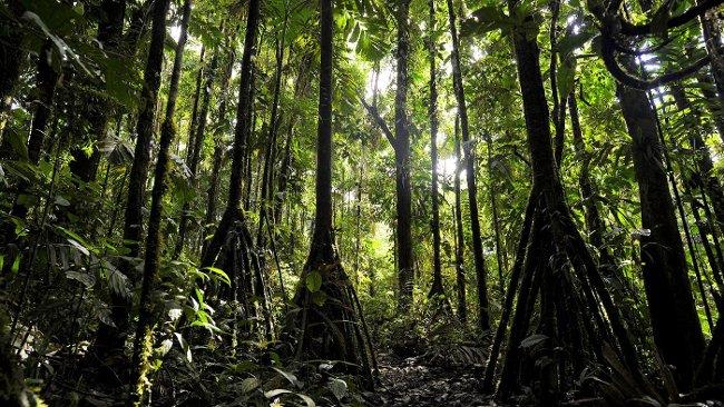 Đây loại cọ sống trong các khu rừng nhiệt đới.
