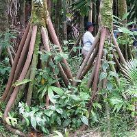 """Kỳ lạ loài """"cây đi bộ"""" duy nhất trên thế giới"""