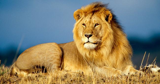Khám phá gây sốc về loài sư tử ít ai ngờ đến