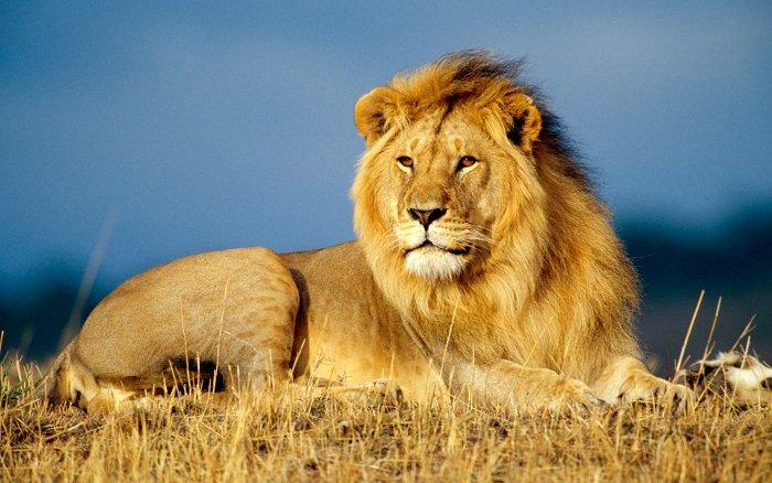 Sư tử cái trong đàn giữ vai trò đi săn vì chúng có kích thước nhỏ hơn.