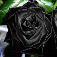 Hoa hồng đen huyền bí ở Thổ Nhĩ Kỳ