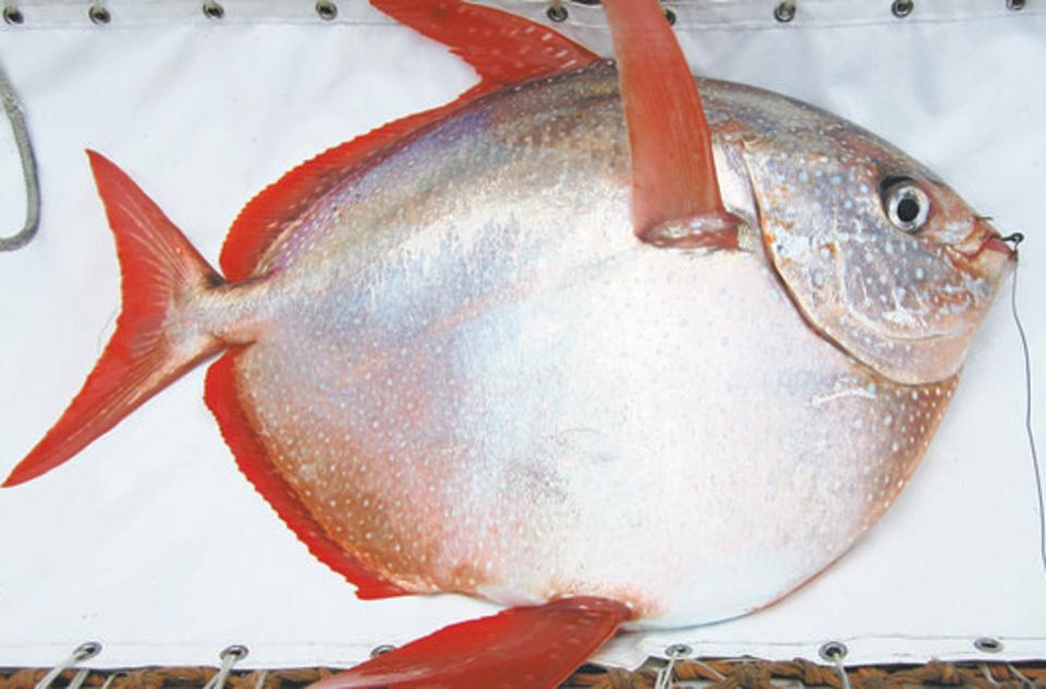 Đây là con cá có máu nóng đầu tiên do các nhà nghiên cứu tại Trung tâm khí tượng và hải dương quốc gia Hoa Kỳ phát hiện.