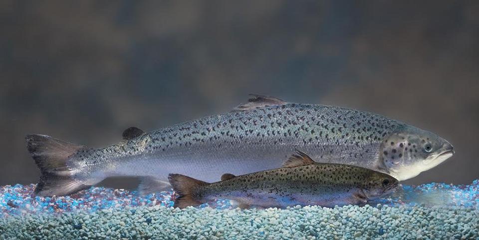 Cơ quan quản lý dược phẩm và thực phẩm Hoa Kỳ đã cấp phép lưu hành loại động vật tùy chỉnh gen có thể ăn được: loài cá hồi đột biến gen phát triển nhanh.  Anh_KHCN_2015_44.