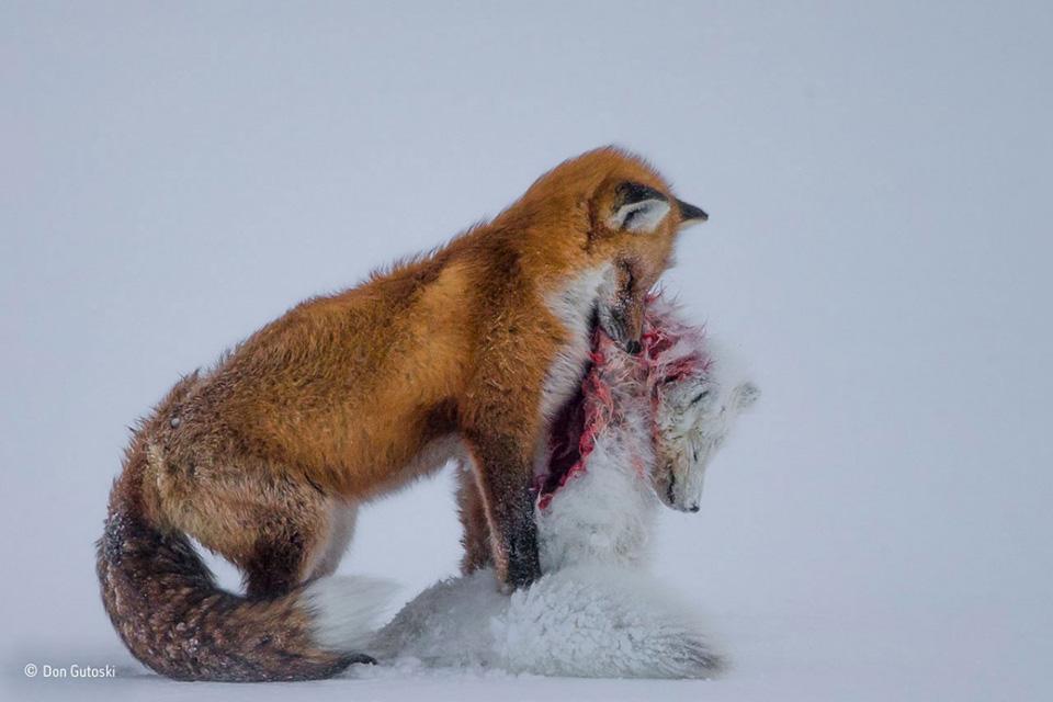 Bức ảnh chụp vào đầu mùa đông này đã mang về cho nhiếp ảnh gia Don Gutoski giải nhất trong cuộc thi Wildlife Photographer năm nay.