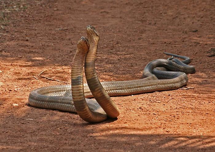 Rắn vua vẫn là loài cực kỳ bí ẩn sự hiểu biết của con người về rắn hổ chúa gần như vẫn bằng không.