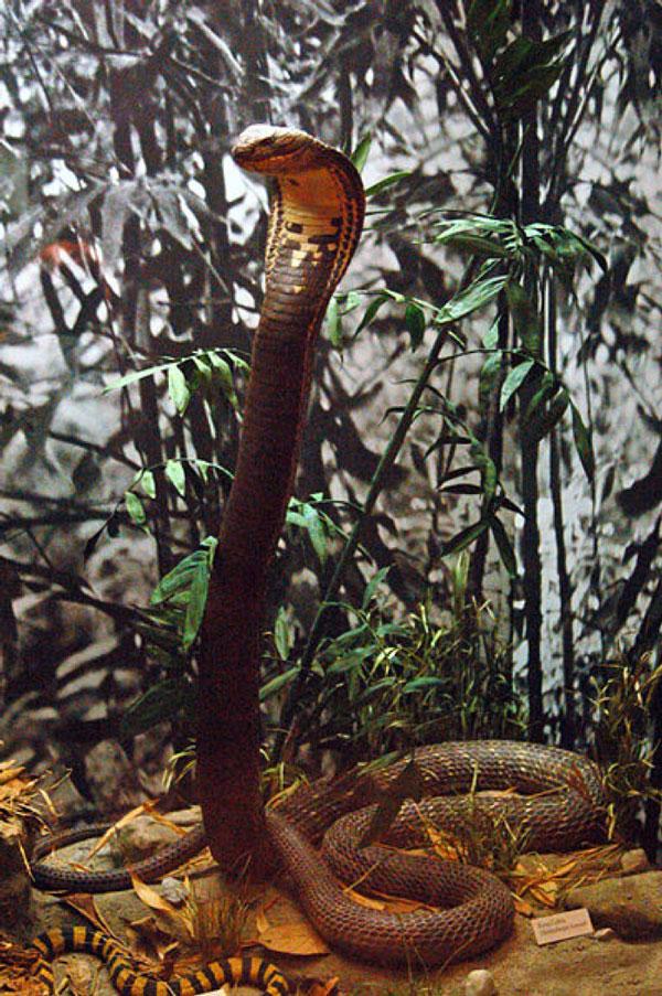 Hiện Western Ghats được coi là nơi mà số lượng loài hổ mang chúa còn nhiều nhất thế giới.
