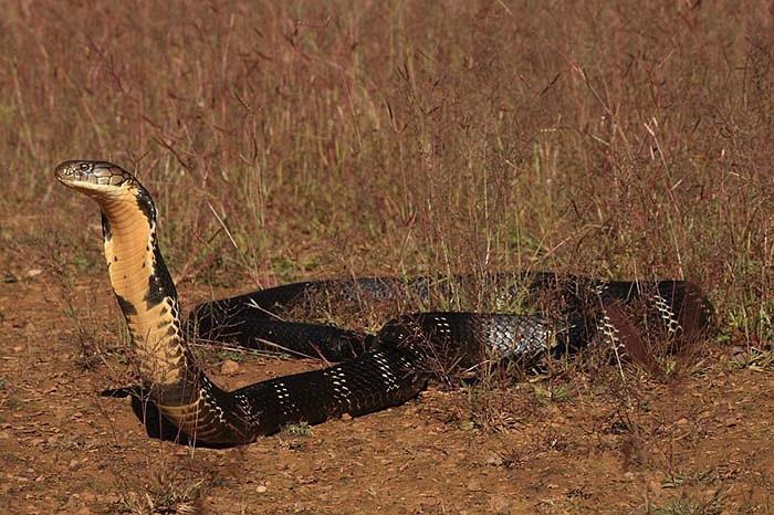Môi trường sống phù hợp, được bảo vệ nghiêm ngặt, nên hổ chúa ở Western Ghats có điều kiện phát triển rất tốt, đạt kích thước cực đại.