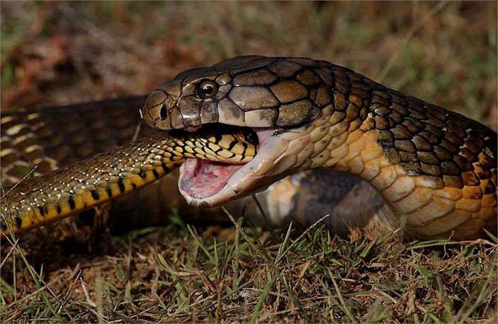 Hổ mang chúa là loài ăn thịt đồng loại, đặc biệt ưa thích rắn săn chuột