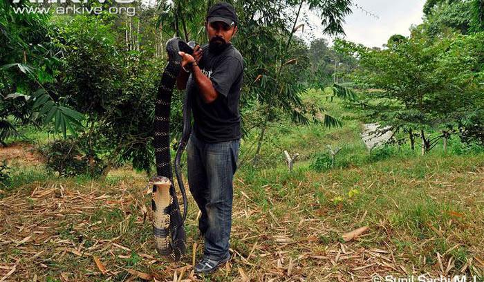 Nọc độc của hổ mang chúa vô cùng kinh khủng. Một cú đớp của hổ mang chúa sẽ cướp mạng con voi nặng vài tấn.
