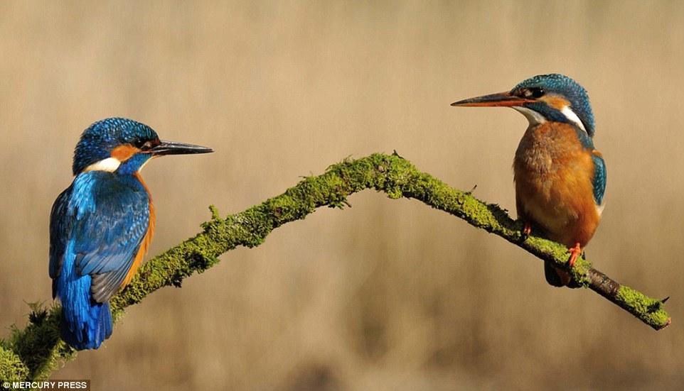 Những chú chim thường đậu trên một cành cây cao 1,3m và lặn xuống bắt mồi khoản 4 lần/ngày