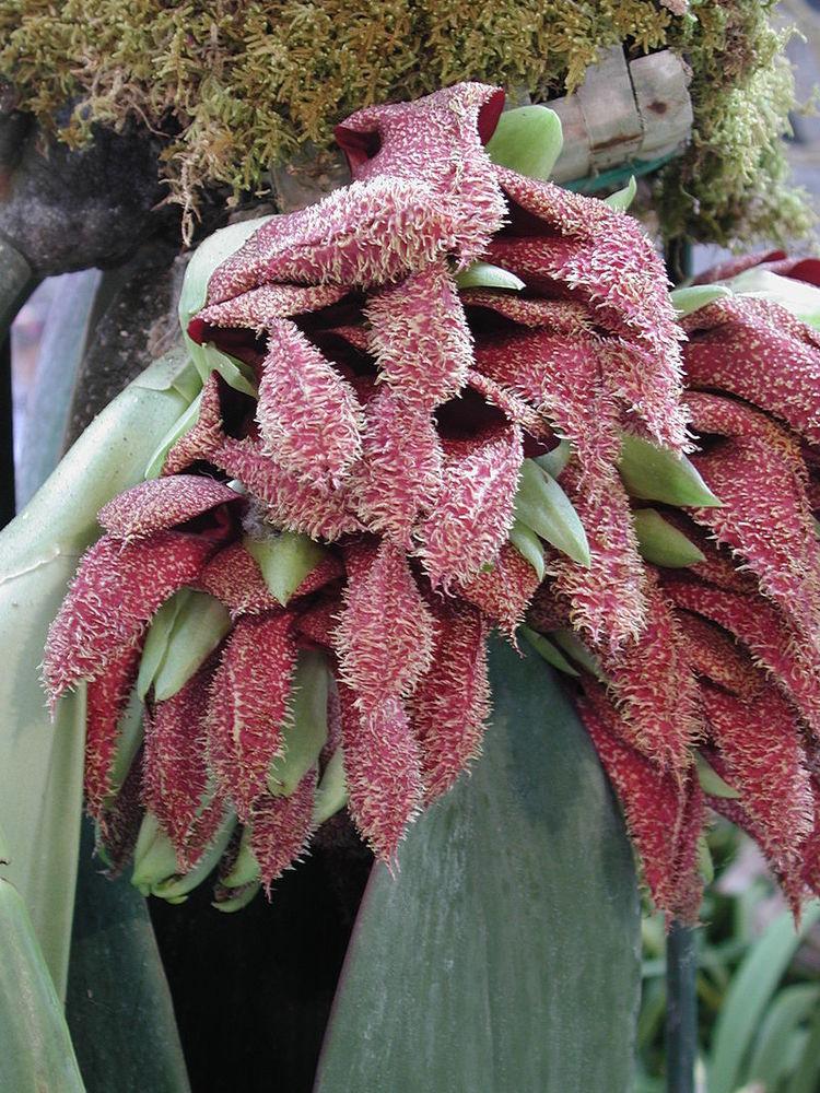 Cây bulbophyllum phalaenopsis thuộc chi lớn nhất của phong lan Bulbophyllum. Hoa của nó có màu đỏ hồng và tỏa mùi ghê sợ giống như cây Dracunculus.