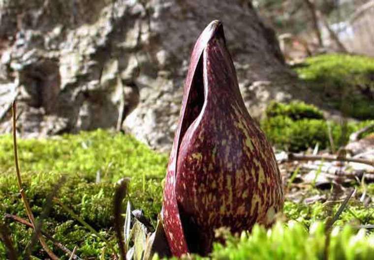 """Bắp cải chồn hôi mọc tự nhiên tại các vùng đất ngập nước phía đông khu vực Bắc Mỹ. Hoa của chúng có mùi chồn hôi, """"lôi cuốn"""" ruồi và sâu bọ đến thụ phấn."""