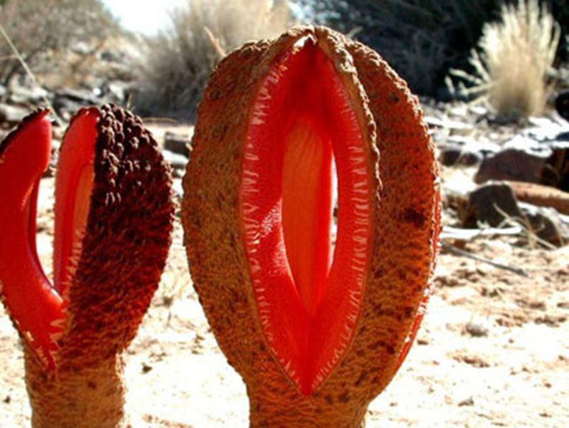 """Hydnora africana là tên loài hoa """"nhiều thịt"""" sinh sống ở khu vực miền nam châu Phi. Cây phát triển hoàn toàn dưới lòng đất. Khi bông hoa nhú lên khỏi mặt đất, chúng tiết ra mùi hôi thối giống như phân."""