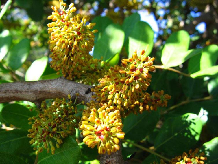 Hoa carob có bề ngoài không đặc biệt nhưng là loài có mùi đặc trưng của tinh dịch. Bao hạt cây carob có giá trị rất cao. Sau khi nghiền nát, bao hạt được sử dụng làm sản phẩm thay thế chocolate.