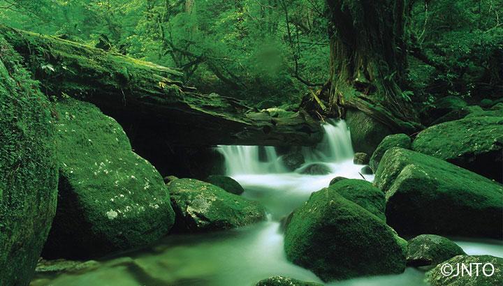 Rêu mọc trong rừng cũng vô cùng đặc biệt, hiếm có nơi nào trên thế giới mà rêu lại đa dạng như tại đảo Yakushima. Có đến hàng trăm loài rêu khác nhau phủ dày các thân cây tới các mỏm đá.