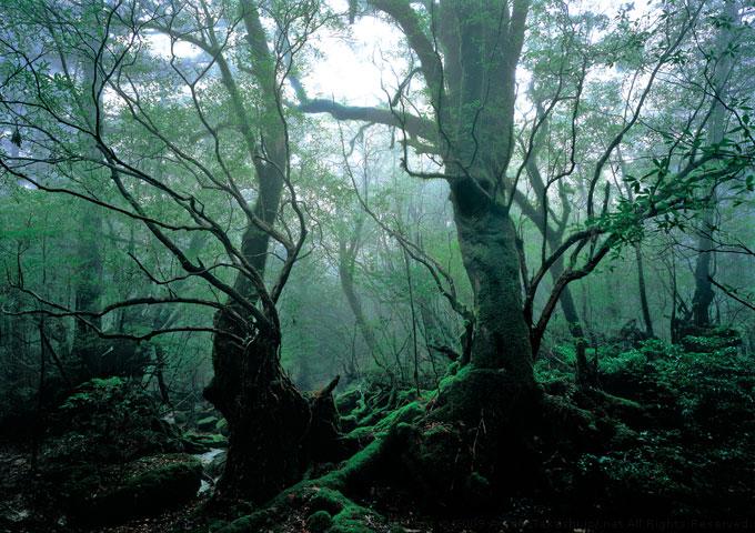 Khu rừng Yakusugi gồm vô số các cây tuyết tùng mọc xen dày đặc