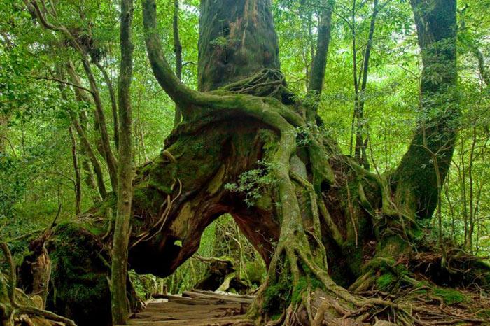 Thảm thực vật đa dạng với những cây tuyết tùng hàng nghìn năm tuổi trên đảo Yakhushima