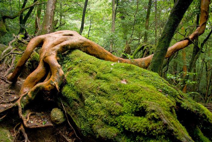 Trong số đó, có một cây mang tên Jomon Sugi với chu vi đo được là 16.4m, theo các nhà thực vật học cây Jomon ước tính đã sống đến 3.000 năm nhưng theo truyền thuyết người dân ở đây thì cây này đã 7.200 tuổi.
