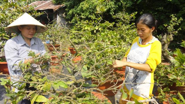 Để mai ra hoa đúng dịp Tết, biện pháp tuốt lá mai được sử dụng. Biện pháp tuốt lá cho cây mai ra hoa được thực hiện hằng năm trong khoảng thời gian giữa tháng 12 âm lịch.