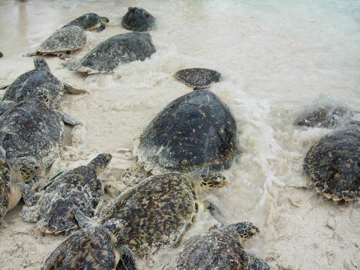 Rùa bò lên bờ biển để đẻ trứng.