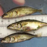Loài cá có khả năng tiến hóa nhanh nhất nhờ động đất
