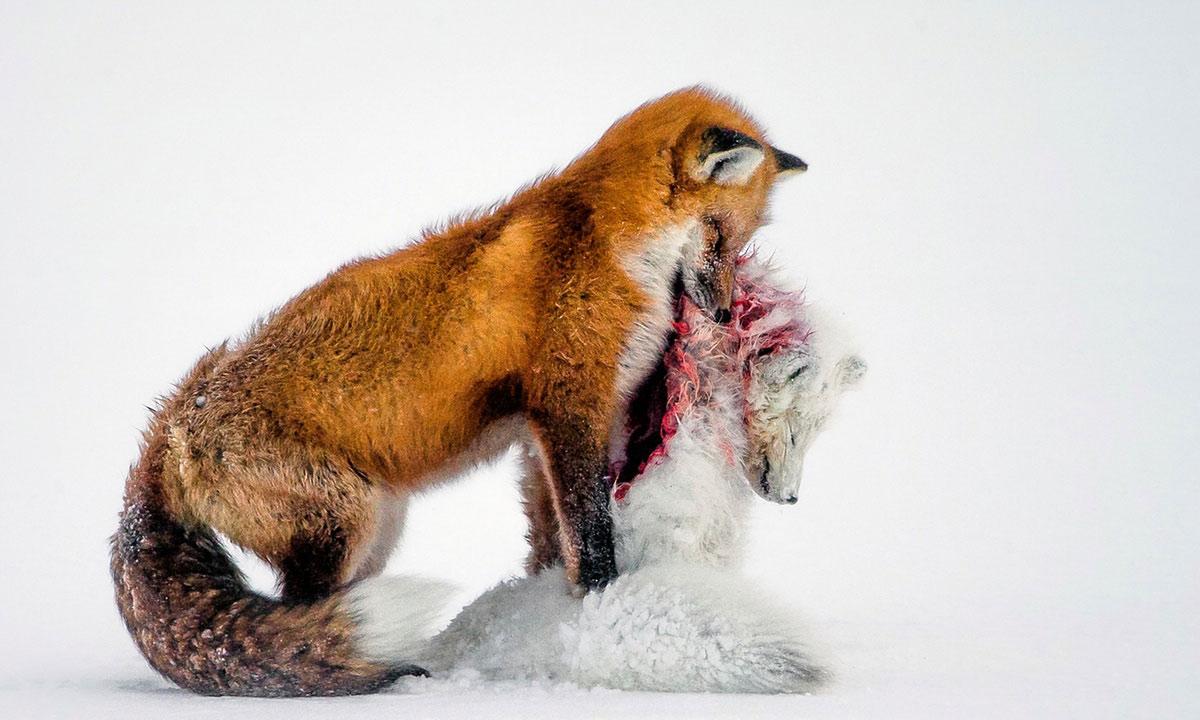 Giải ảnh động vật hoang dã của năm: Bức ảnh đoạt giải nhất của cuộc thi lừng danh này đã vượt qua 42.000 tác phẩm tới từ 96 quốc gia. Don Gutoski ghi lại hình ảnh hai con cáo, thể thiện sự đấu tranh sinh tồn ở mũi Churchill, Canada.