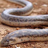Loài rắn kịch độc làm vũ khí chiến tranh thời cổ đại vẫn bò ngoài đường