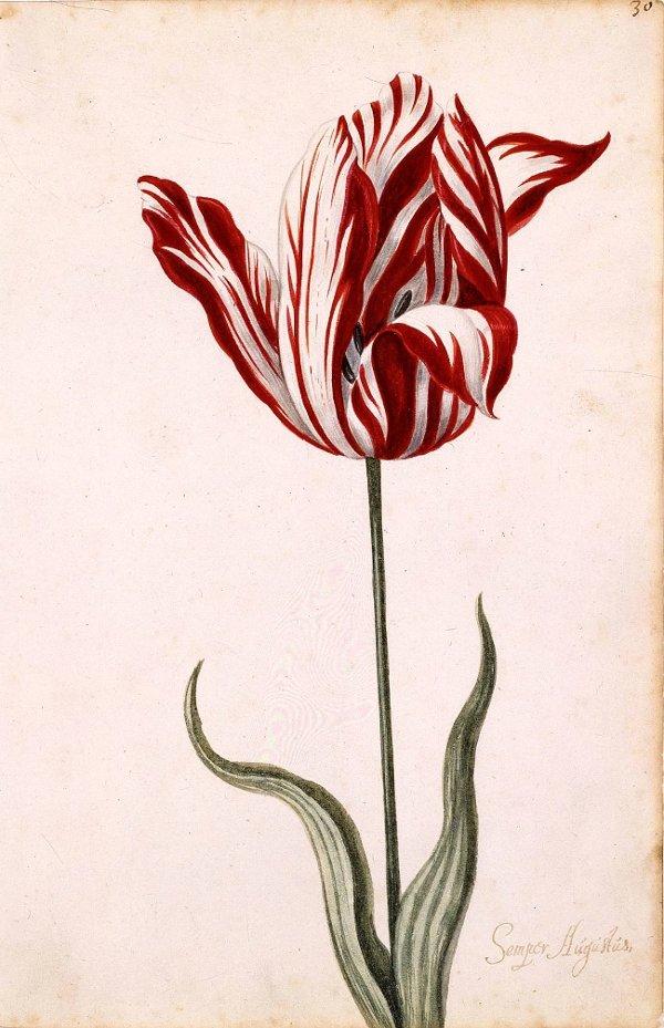 Bức vẽ màu nước bông Tulip đổi màu từ thế kỷ 17.