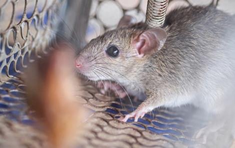 Chuột huấn luyện sẽ xâm nhập vào địa điểm khả nghi và đánh hơi chất nổ.