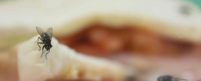 Có nên vứt bỏ thức ăn ngay khi một con ruồi đậu vào?