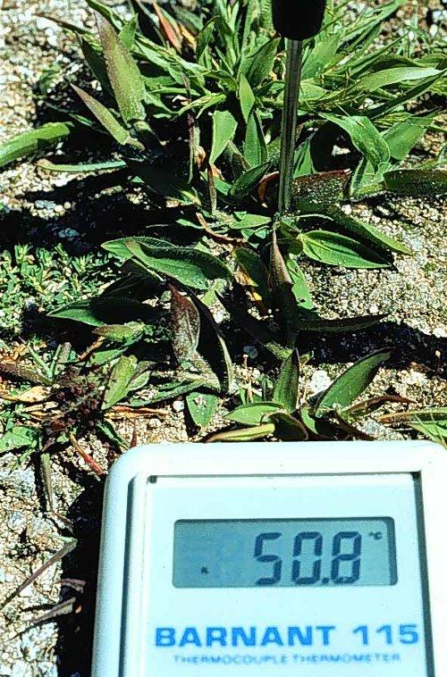 Cỏ vẫn có thể phát triển và sinh sôi tại nhiệt độ 50°C nhờ virus.