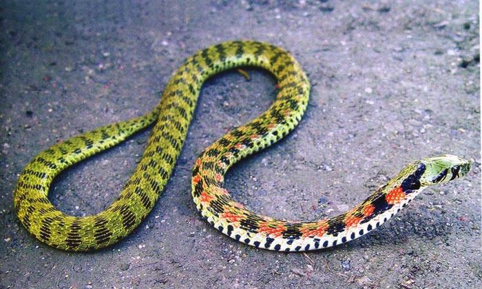 Loài rắn nước độc (tên khoa học là Rhabdophis tigrina) sống ở nhiều vùng thuộc Đông Á lợi dụng chất độc để tấn công các con mồi khác.