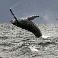 Tại sao cá voi lưng gù biến mất ở Hawaii?