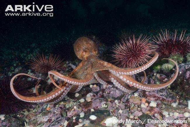 Cái tên bạch tuộc khổng lồ Thái Bình Dương rất hợp với cơ thể nặng nề của chúng.
