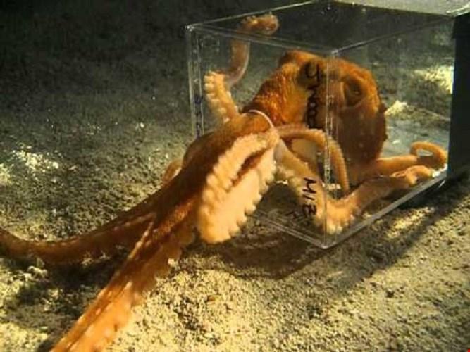 Loài bạch tuộc này có thể khéo léo ép cơ thể lọt qua những chiếc lỗ rất nhỏ