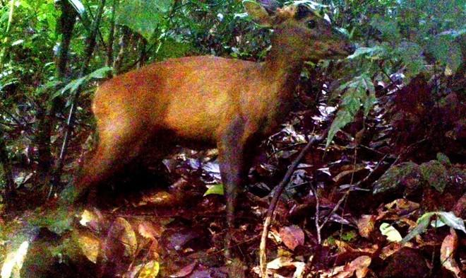 Loài mang lớn quý hiếm mới được phát hiện tại Khu bảo tồn thiên nhiên Pù Hu (Thanh Hóa).