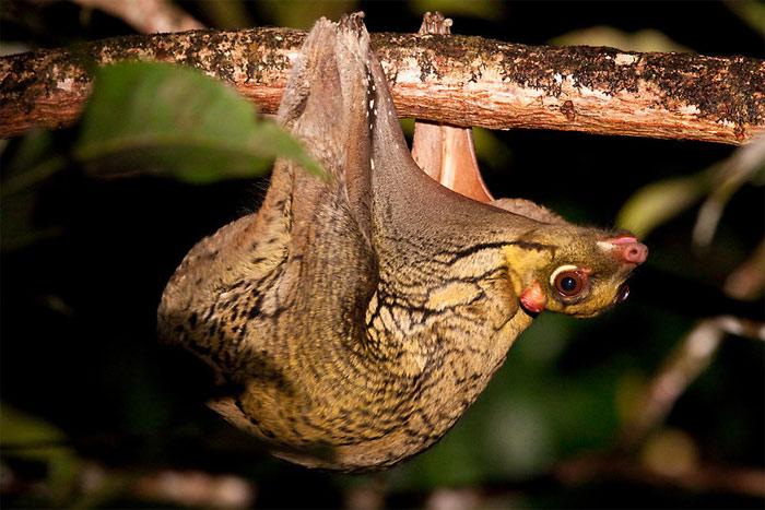 Chúng mang thân hình của khỉ, nhưng lại có cánh như dơi