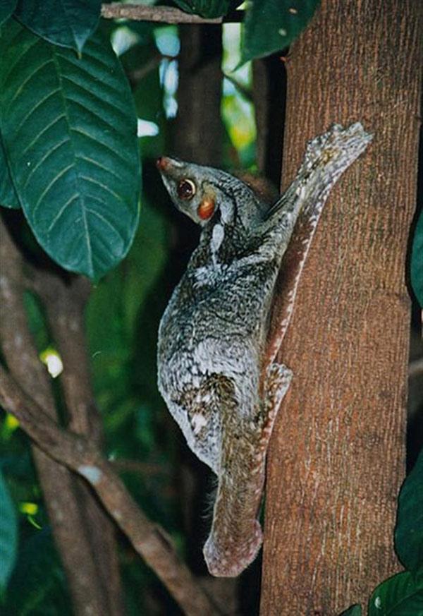 Loài vượn này có tập tính sống về đêm, trốn trên các cây cao, ít khi xuống đất