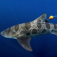 Phát hiện cá mập có thể định hướng bằng mũi