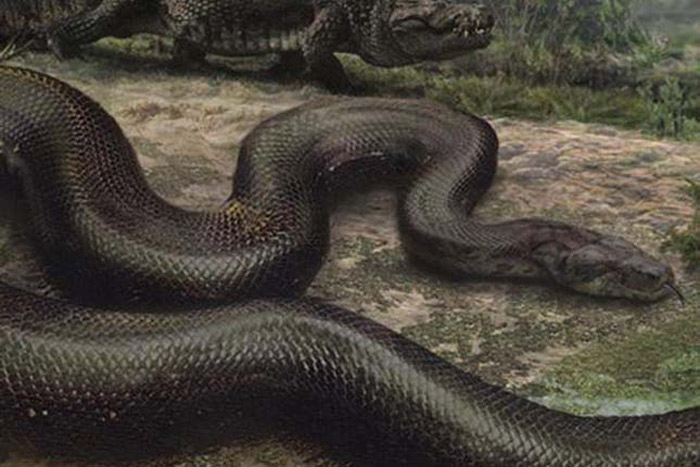 Titanoboa cerrejonensis là loài rắn to lớn nhất được phát hiện từ trước tới nay.