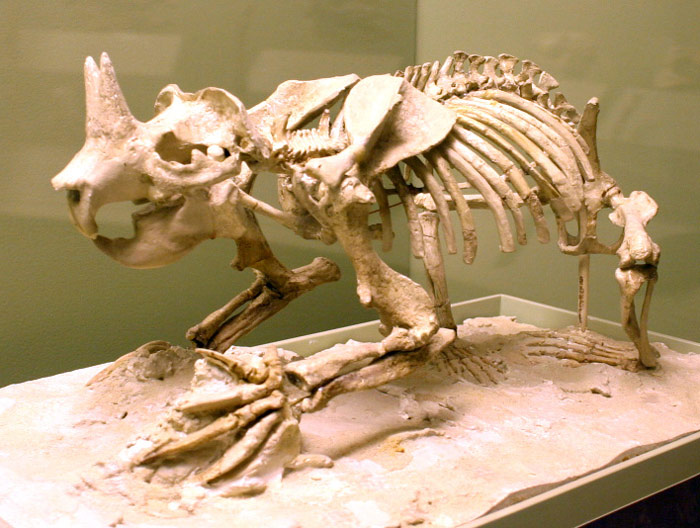 Ceratogaulus Rhinoceros là một loài tê giác tuyệt chủng từ thời tiền sử.