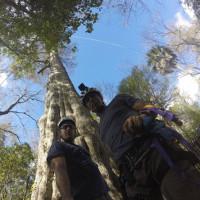 Mỹ sẽ tái tạo những cây cổ thụ khổng lồ