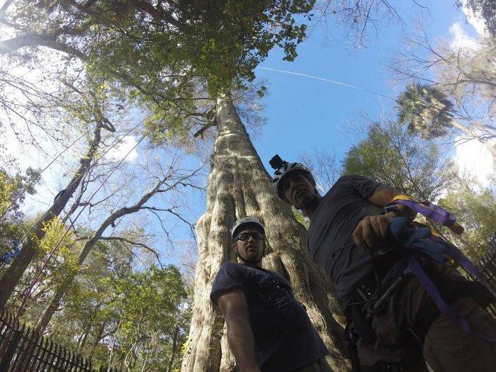 Các nhà nghiên cứu của tổ chức phi lợi nhuận Archangel chuẩn bị leo lên một cây bách 2.000 tuổi ở Longwood, bang Florida ngày 28/12/2015.