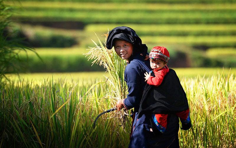 Bé theo mẹ đi gặt lúa ở bản Luốc.