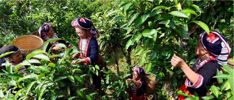 Bà con dân tộc Dao ở xã Nậm Ty hái chè san tuyết cổ thụ nổi tiếng cả nước.