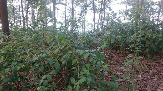 Lá ngón chịu mát nên mọc khắp nơi dưới các tán cây.