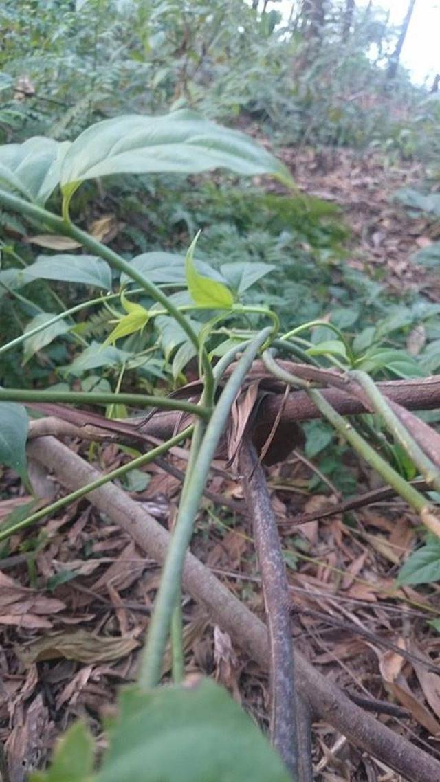Cây lá ngón thân thảo, nhỏ hơn chiếc đũa và có thể bò dài tới 12 mét.