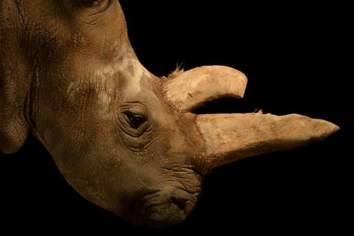 Loài tê giác trắng phương Bắc đang đứng trước nguy cơ tuyệt chủng.