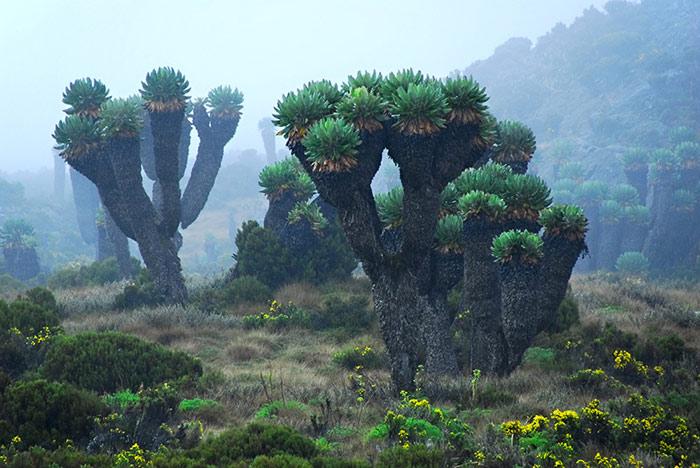 Hệ thực vật đa dạng thay đổi theo chiều cao vùng núi tại vườn quốc gia núi Kenya